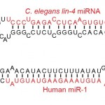 Examples_of_microRNA_stem-loops